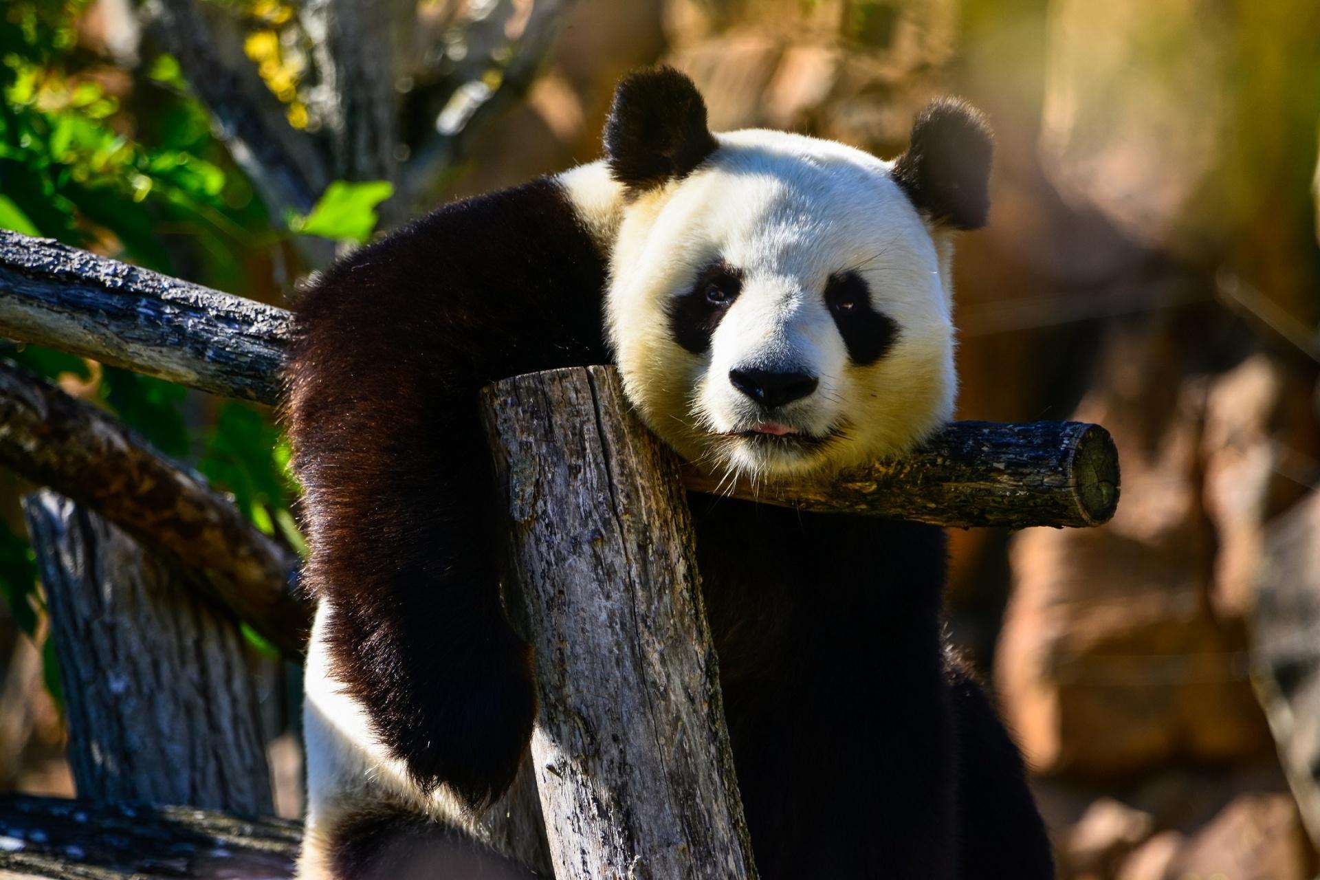 panda-bear-1493822564eue.jpg