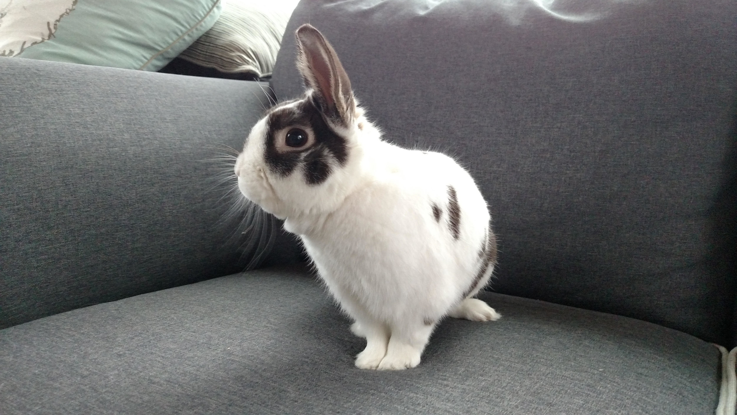 Dwarf rabbit for adoption in Grand Rapids
