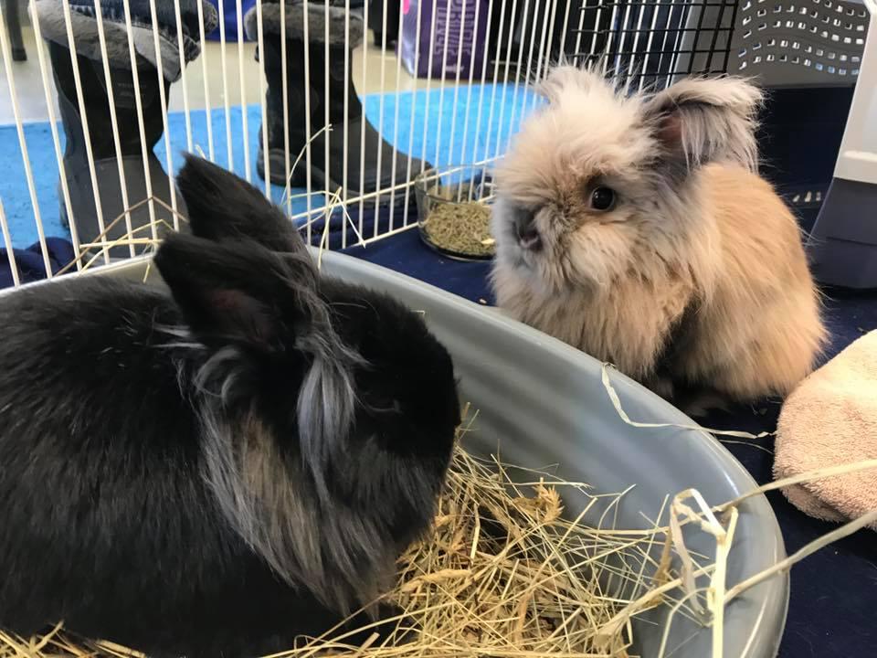 Two bonded lionhead rabbits.