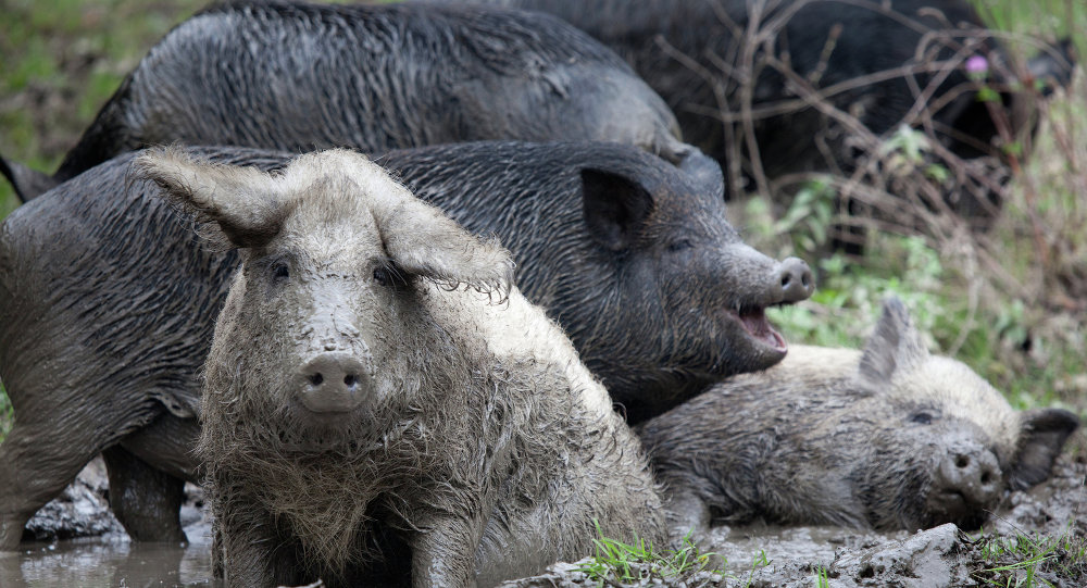 Ukranian domestic pigs