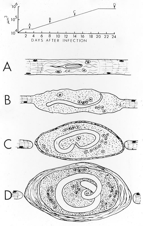 Summary of nurse cell formation. Letters in time course at top correspond to images below.