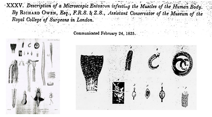 Owen's drawings of what he observed under the microscope.