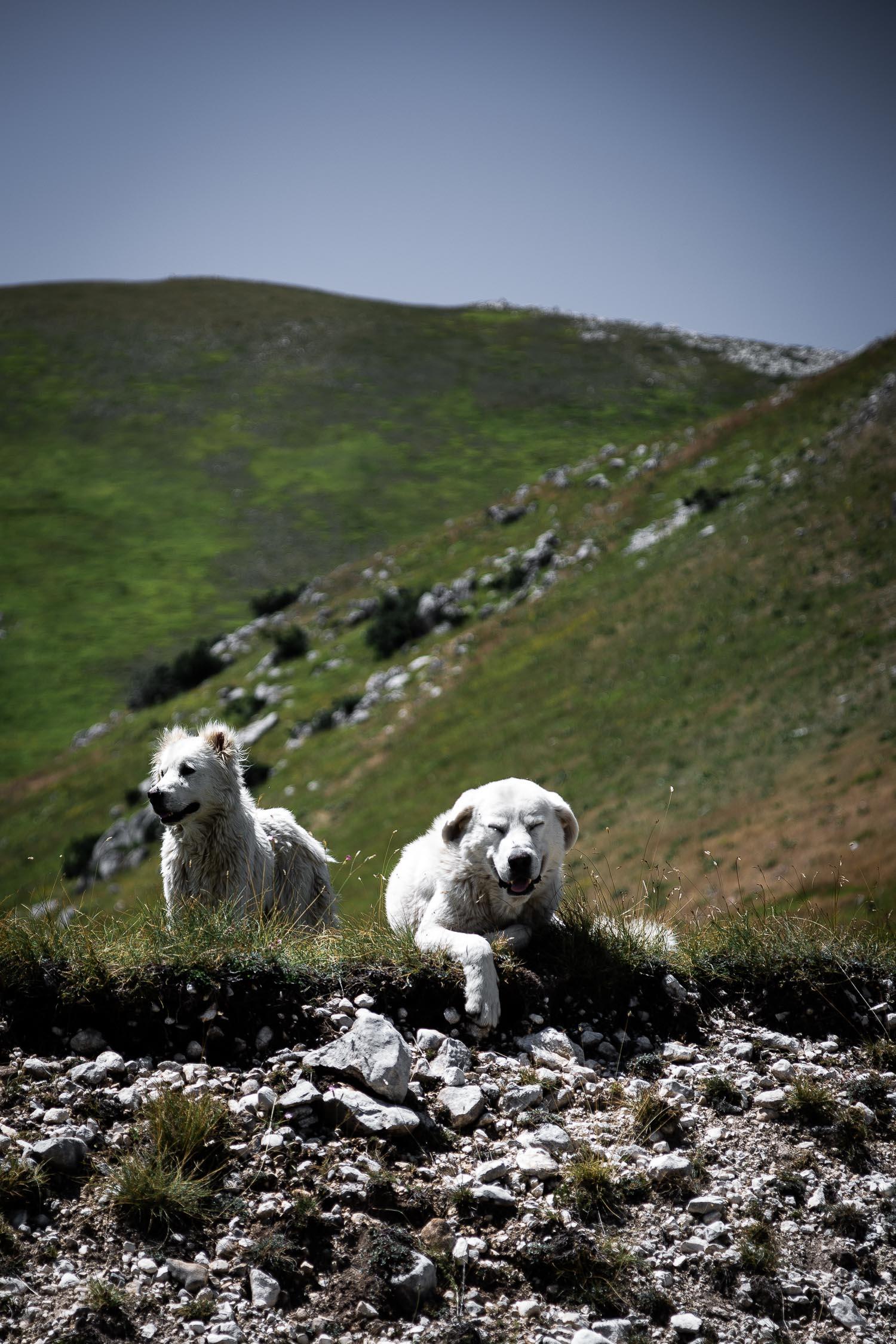 Wild-Dogs-Campo-Imperatore-Gran-Sasso-Abruzzo-5720.jpg
