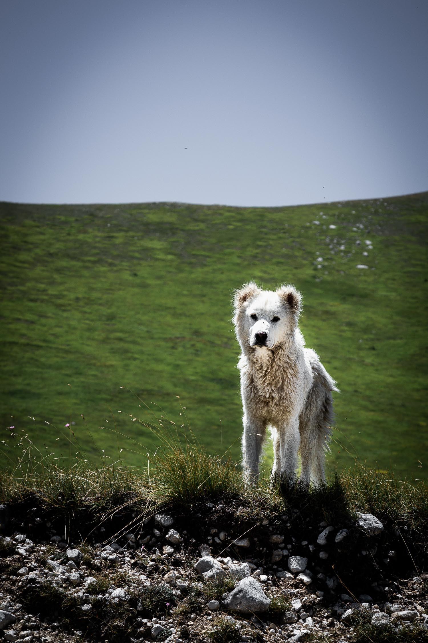 Wild-Dogs-Campo-Imperatore-Gran-Sasso-Abruzzo-5721.jpg