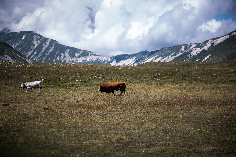 Bull-Grazing-Campo-Imperatore-Gran-sasso-Abruzzo-5711.jpg