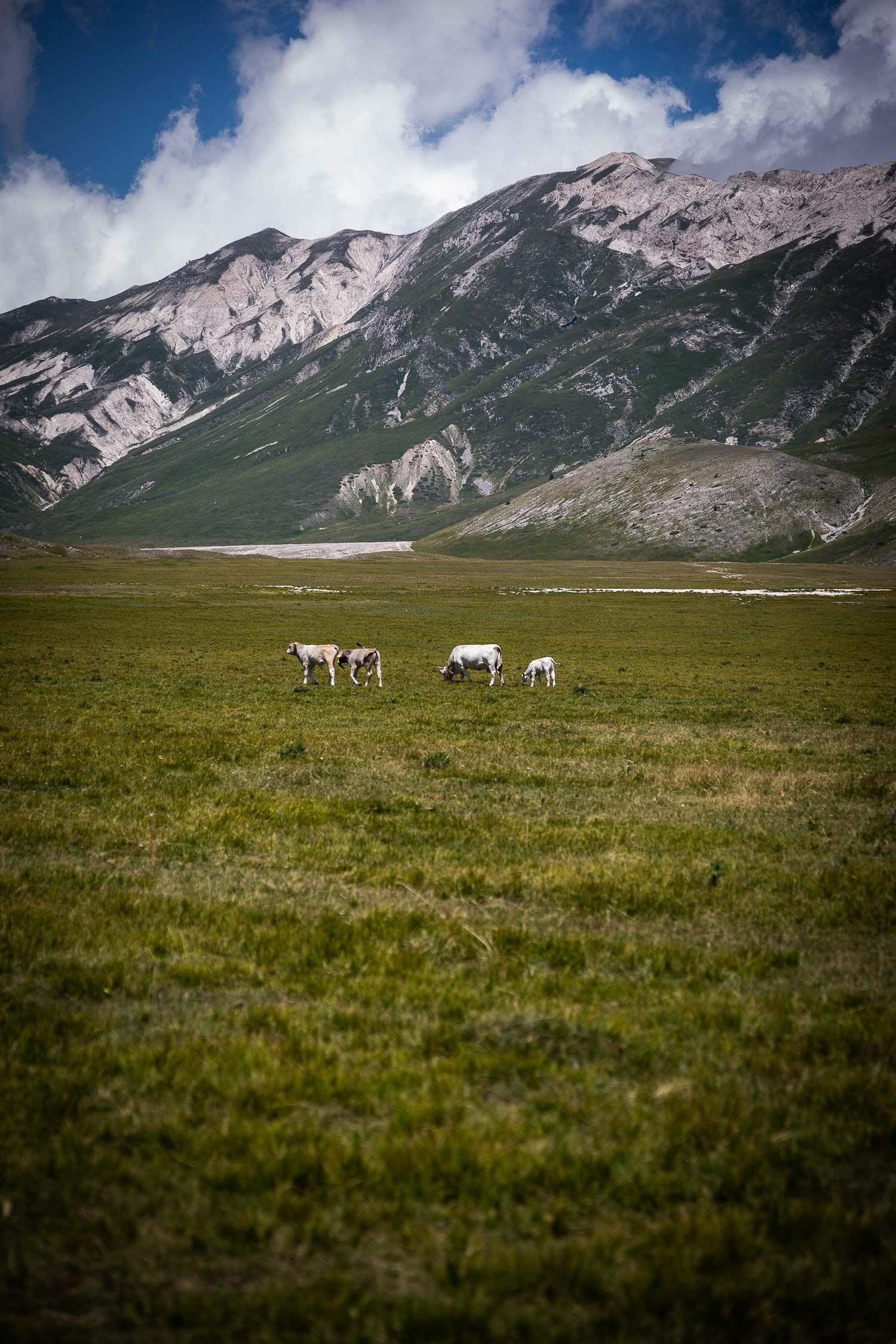 Cattle-Grazing-Campo-Imperatore-Gran-sasso-Abruzzo-5699.jpg