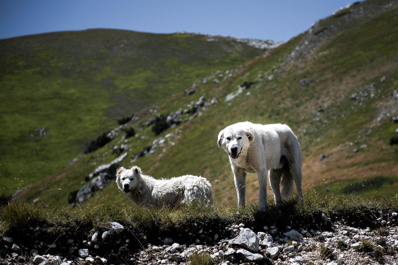 Wild-Dogs-Campo-Imperatore-Gran-Sasso-Abruzzo-5716.jpg