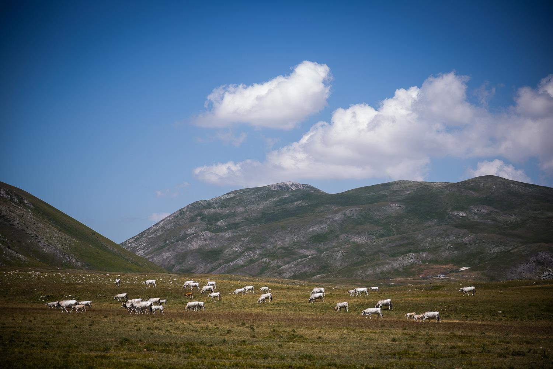 Cattle-grazing-Campo-Imperatore-Gran-Sasso-Abruzzo-5692.jpg