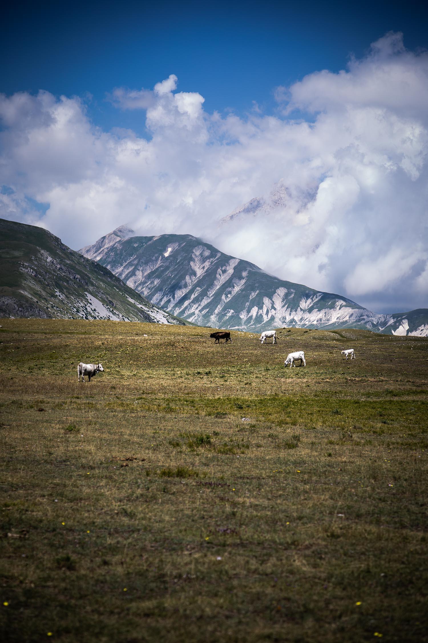 Cattle-Grazing-Campo-Imperatore-Gran-Sasso-Abruzzo-5697.jpg