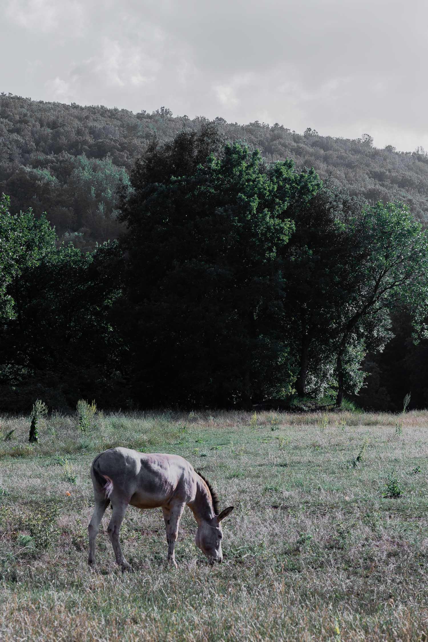 Tuscany-donkey-grazing-4165.jpg