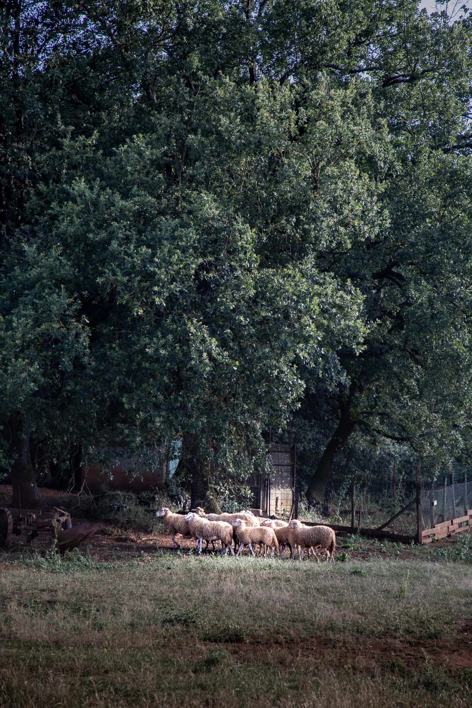 Tuscany-sheep-herd-4136.jpg