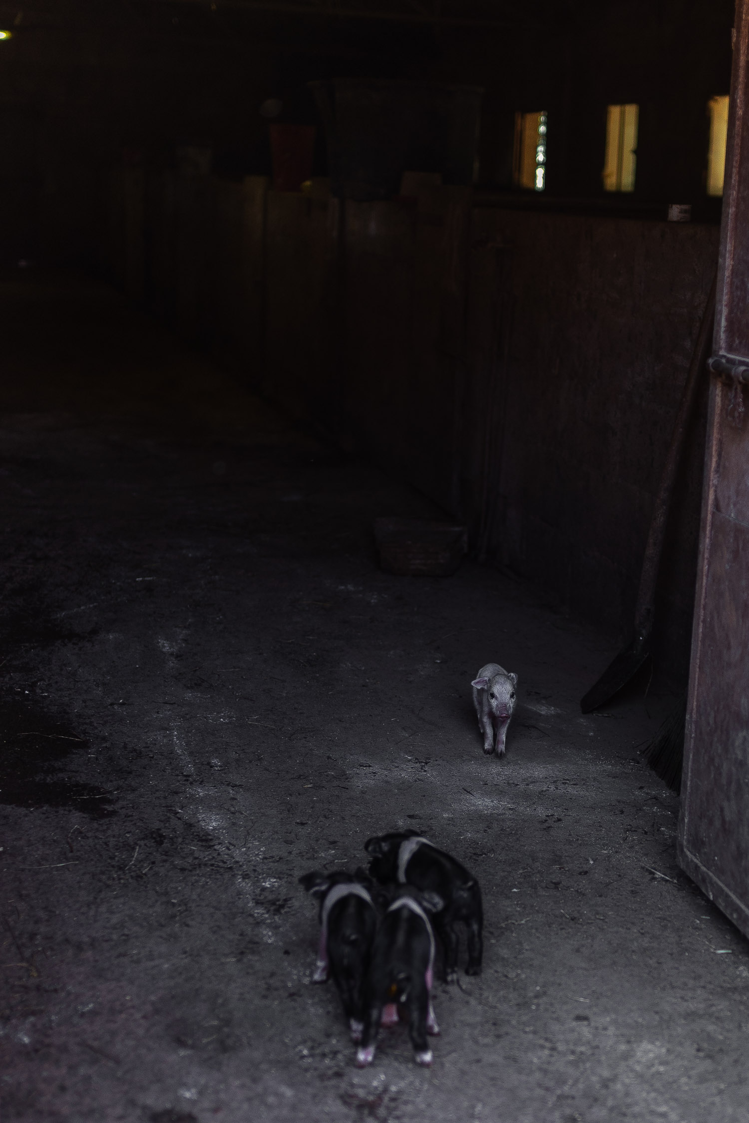 Tuscany-baby-pigs-4569.jpg