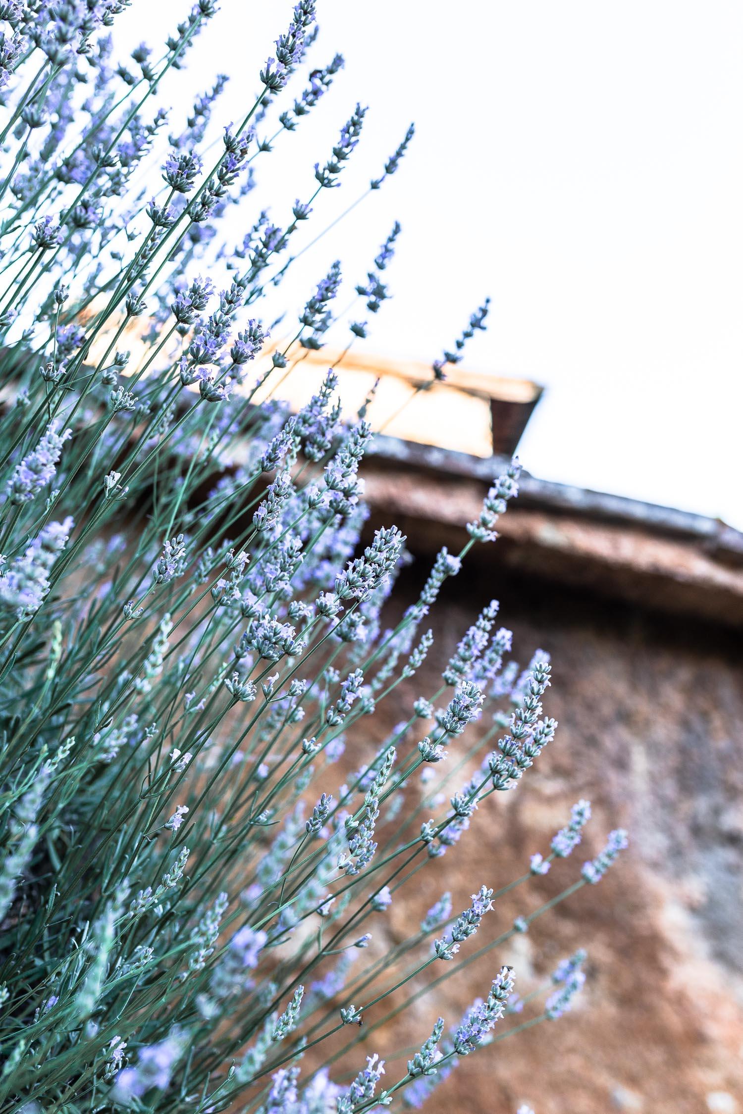 Tuscany-lavander-bush-4121.jpg
