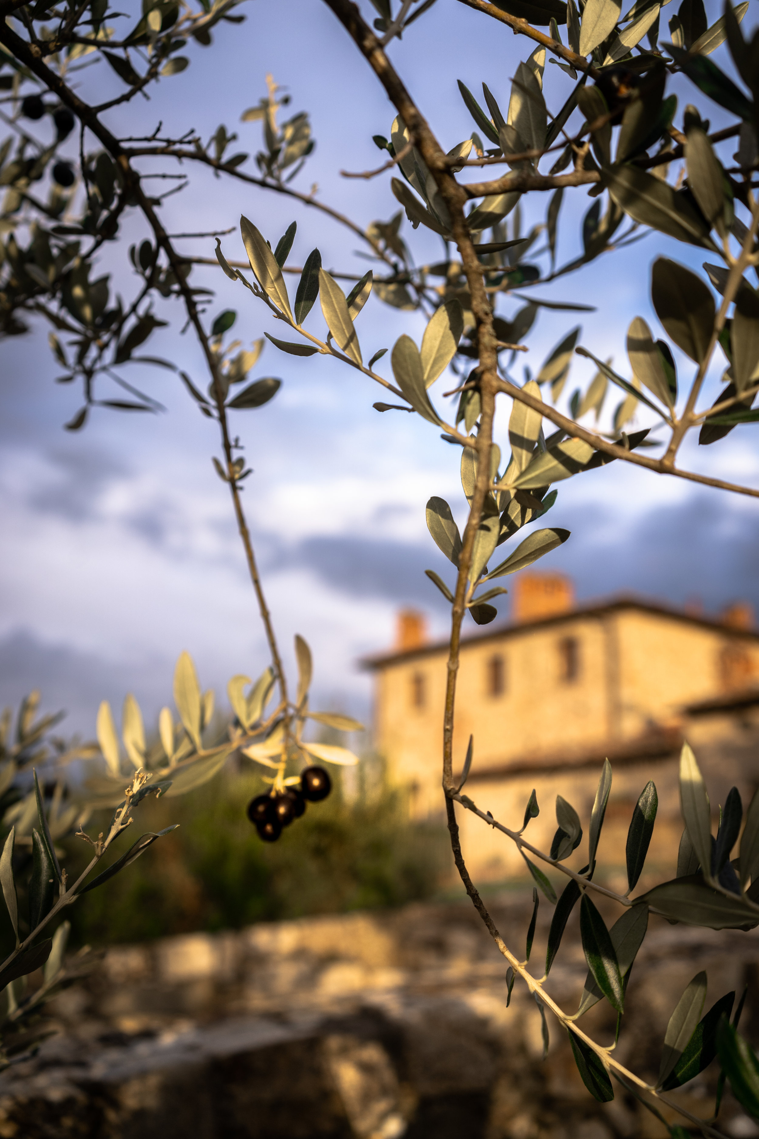 Olives ready for harvest at Castello di Meleto