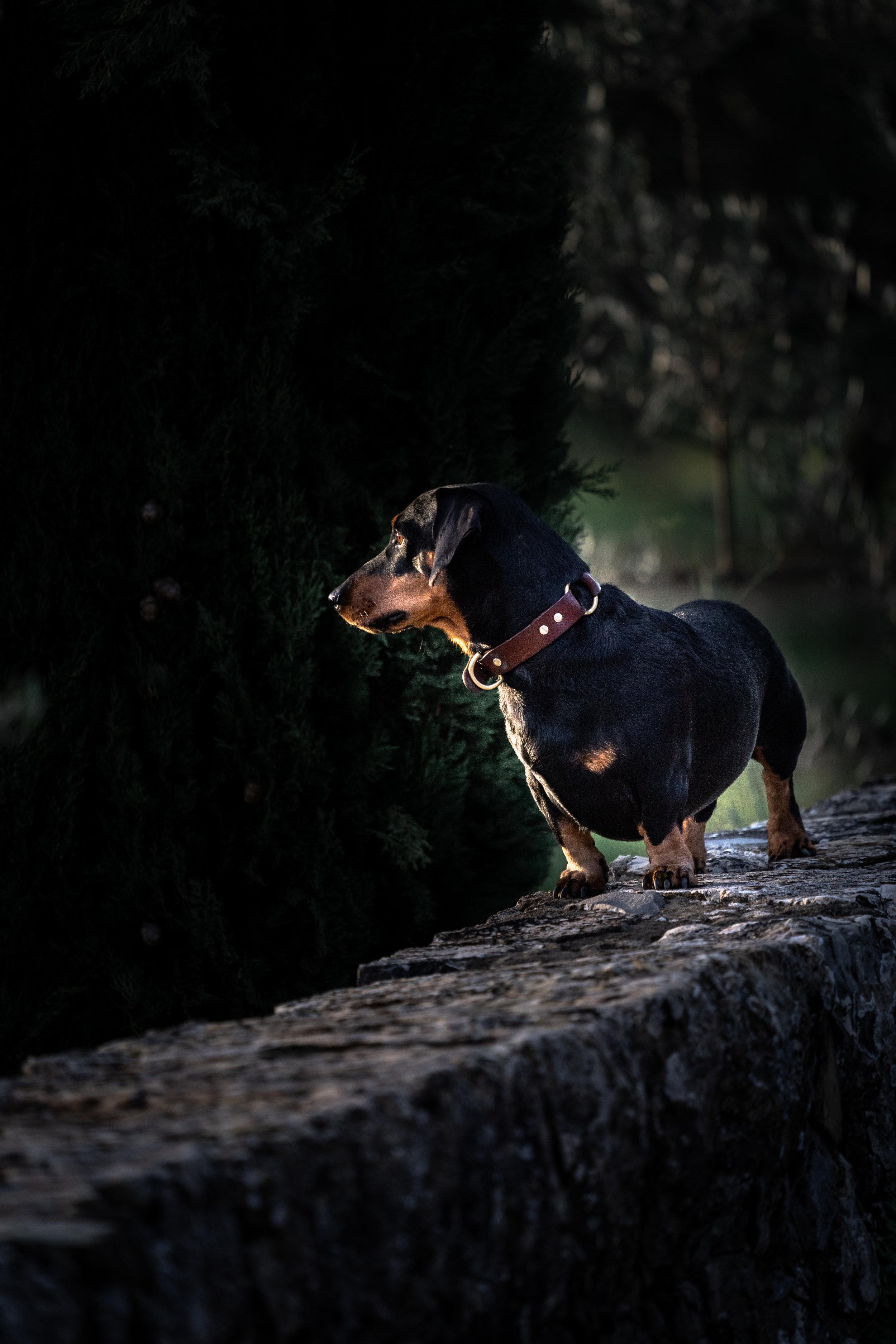 1.6 2018-11-05DSC02568 dachshund_dog_tuscany.jpg