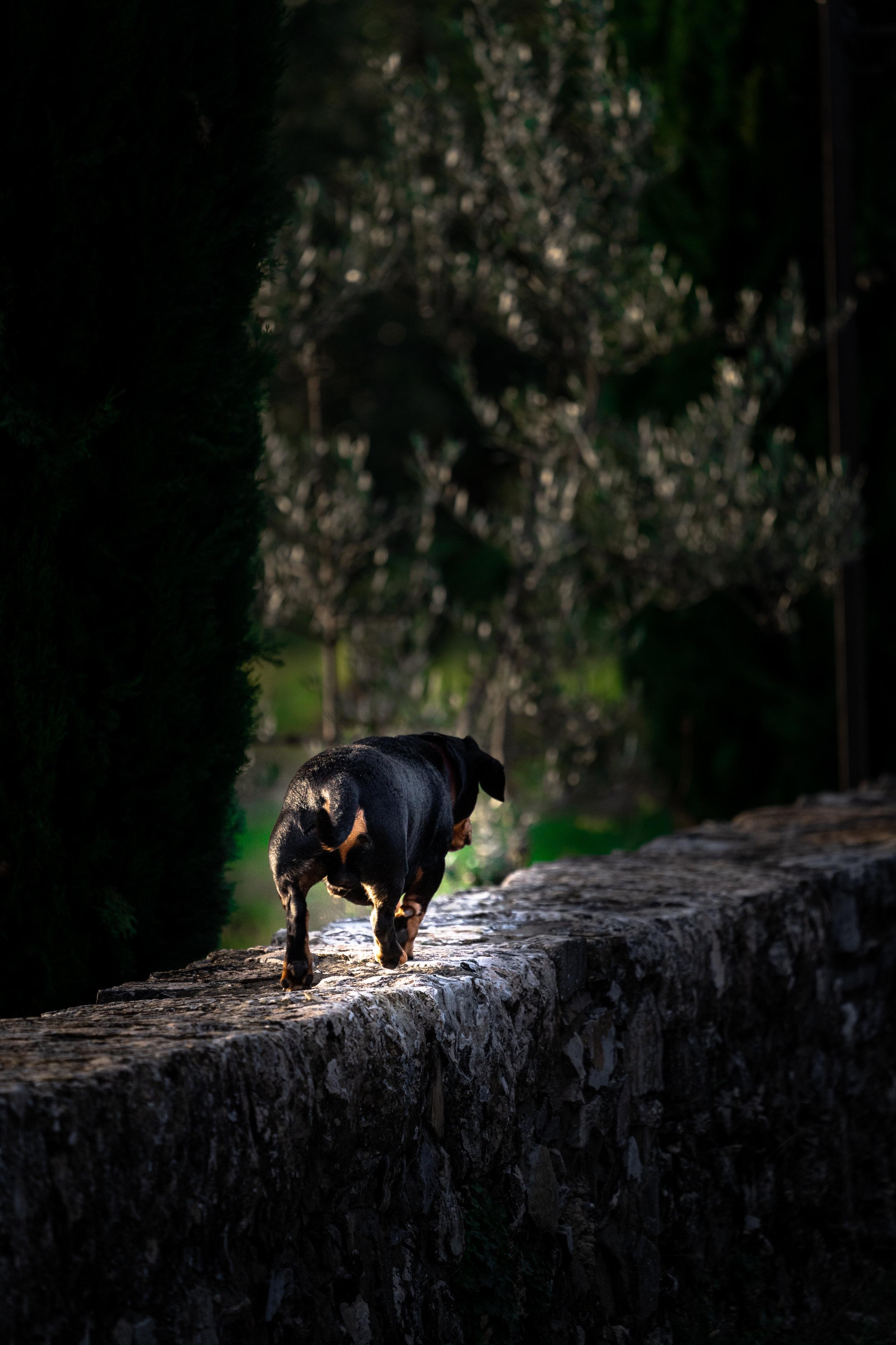 1.6 2018-11-05DSC02561 Tuscany_daschund_dog_walk.jpg