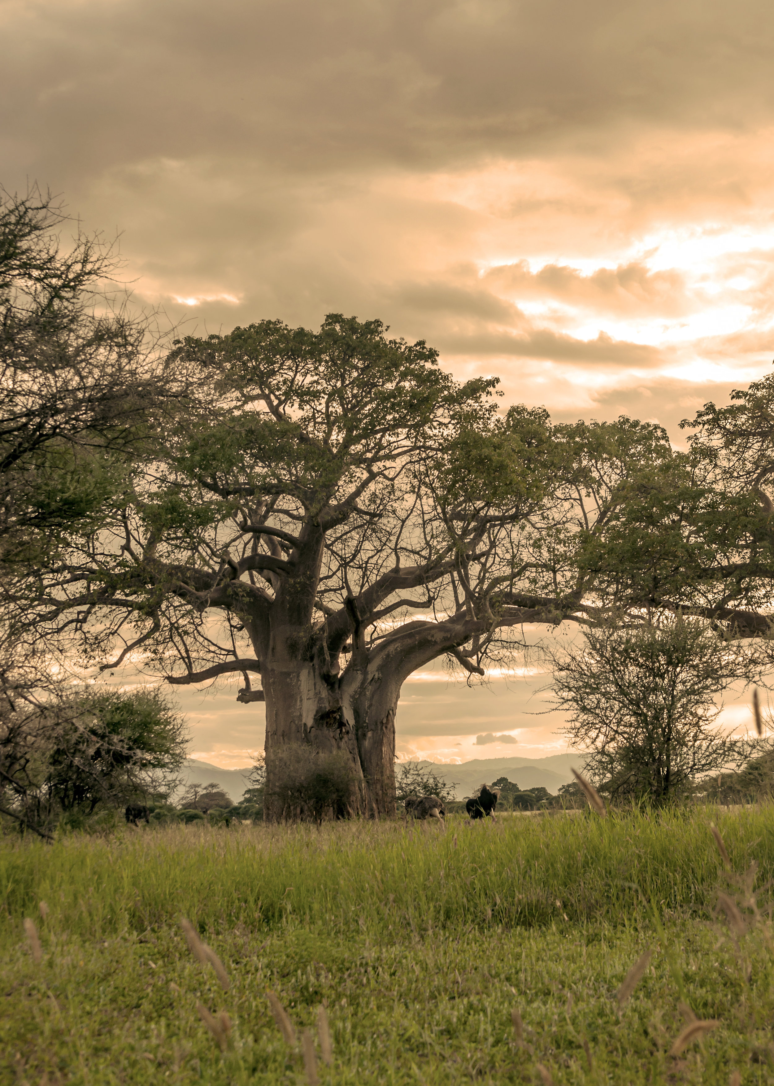 Acacias in Kenya on a cloudy day