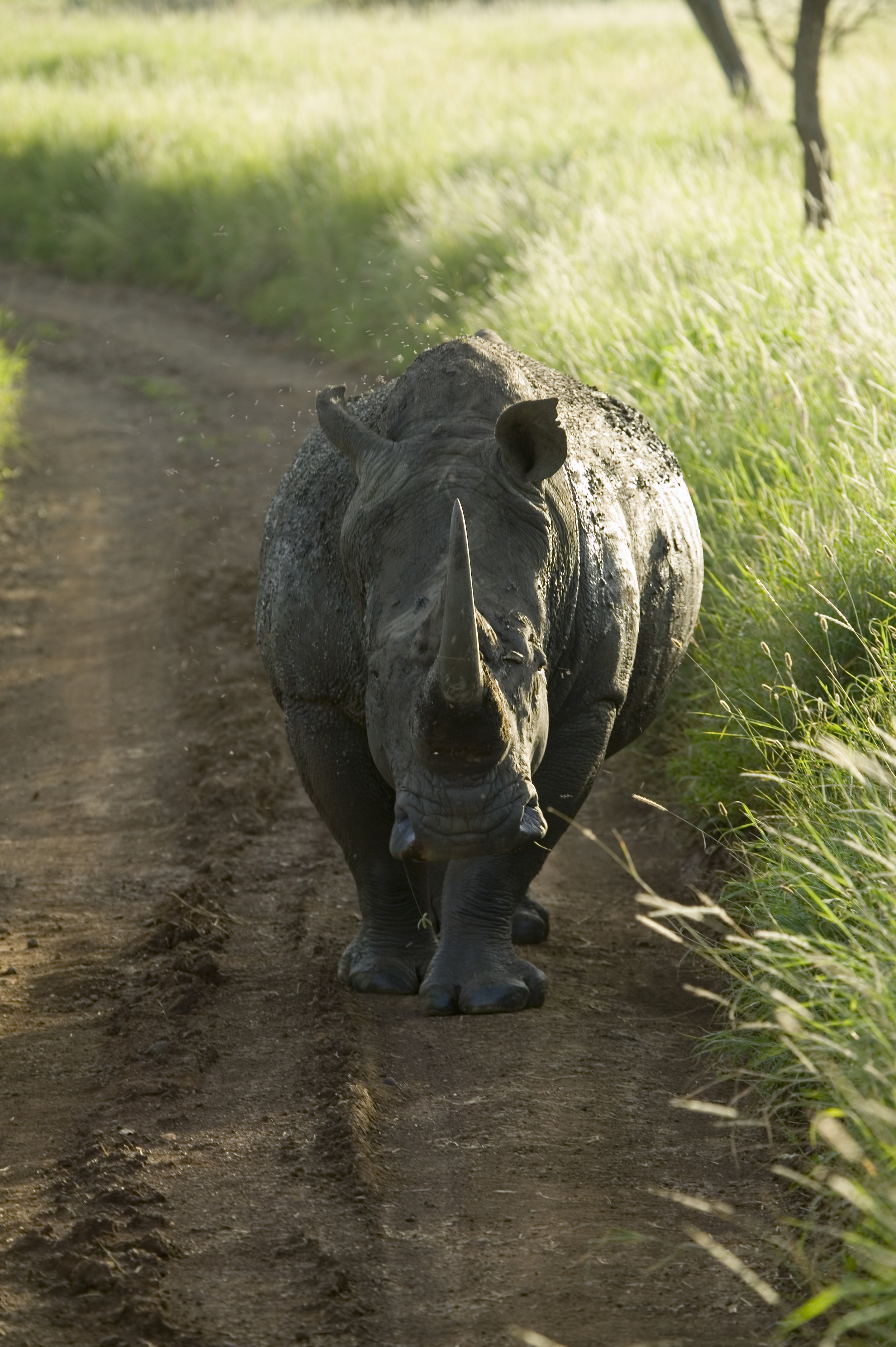 Endangered White Rhino in the middle of the road of Lewa Wildlife Conservancy, North Kenya, Africa
