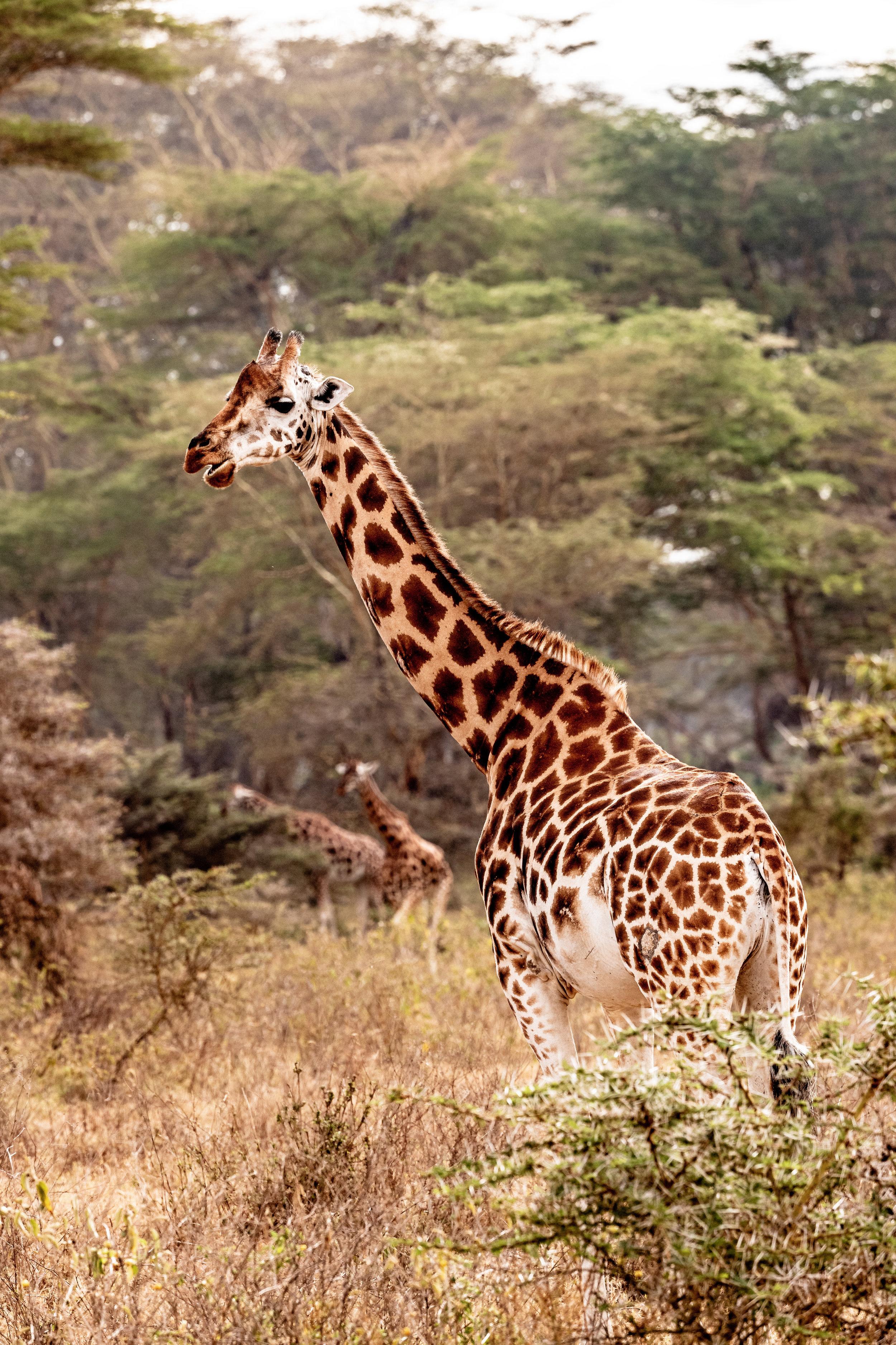 Rothschild Giraffe in Lake Nakuru