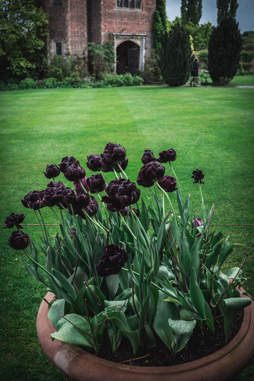 Sissinghurst-Castle-Black-Tulips-in-a-pot.jpg