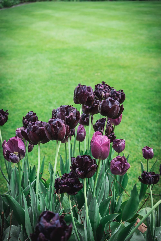 Sissinghurst-Castle-Black-Tulips.jpg