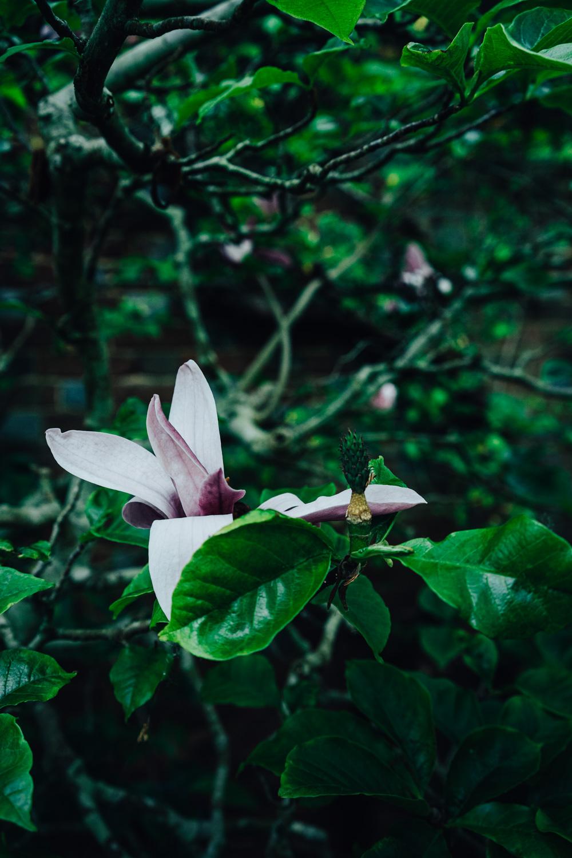 Bateman's-Manor-Rudyard-Kipling-Magnolia-Flower.jpg