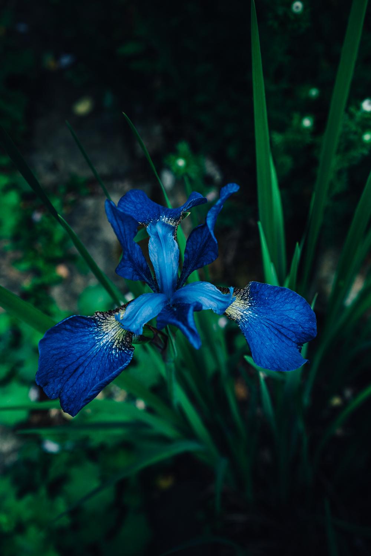 Bateman's-Manor-Rudyard-Kipling-Blue-Lily-detail.jpg