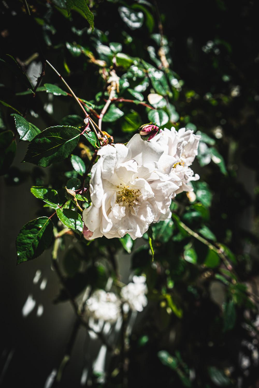 Monk's house-wild-roses.jpg
