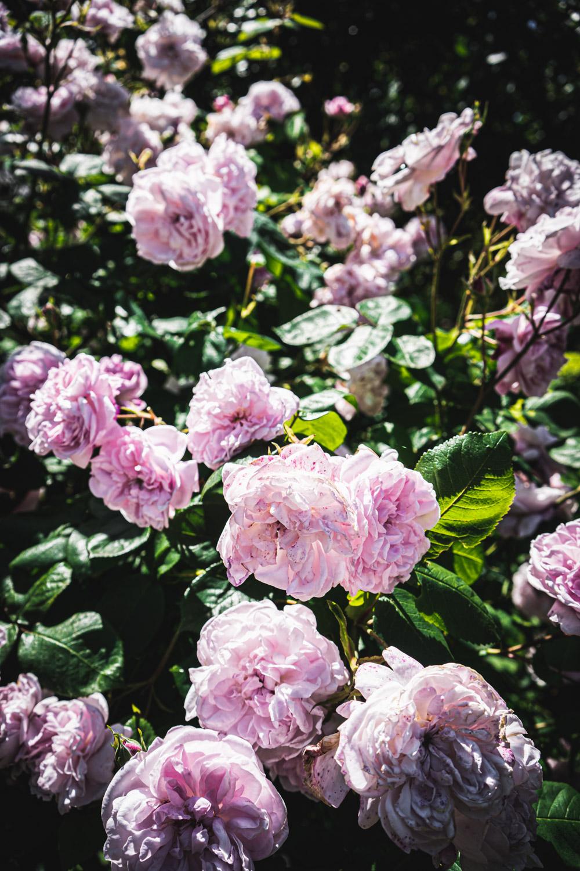 Monk's house-pink-roses.jpg