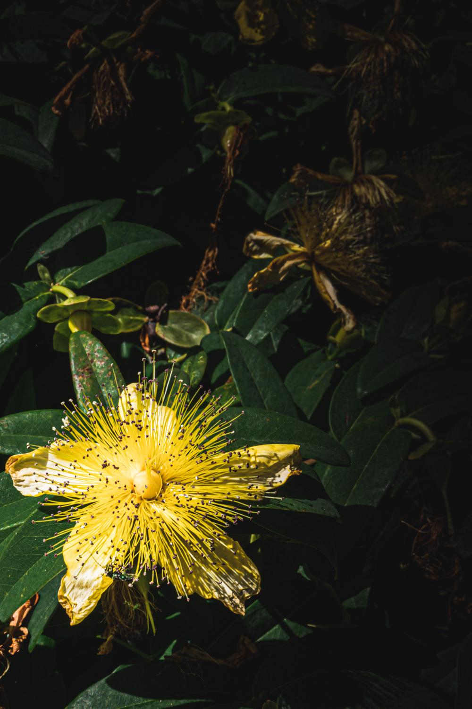Monk's house-yellow-flower.jpg