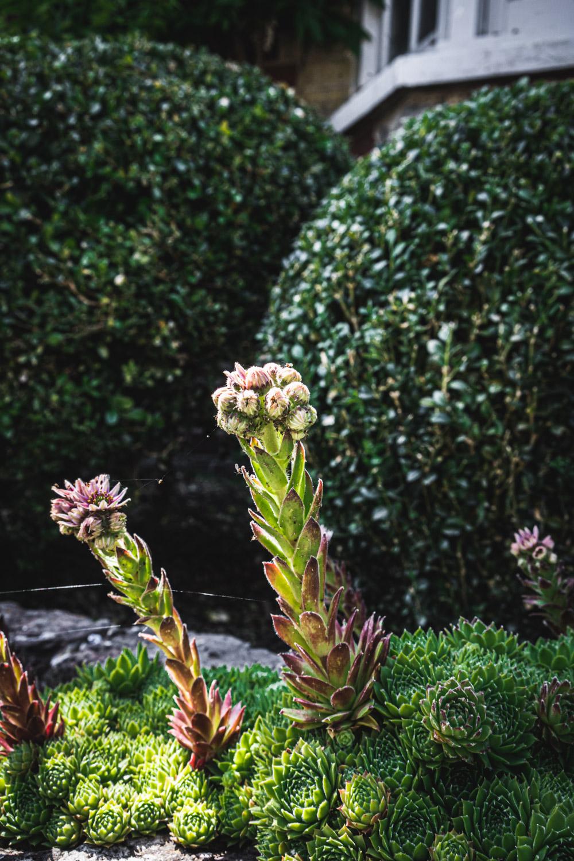 Monk's house-cacti-flowering.jpg