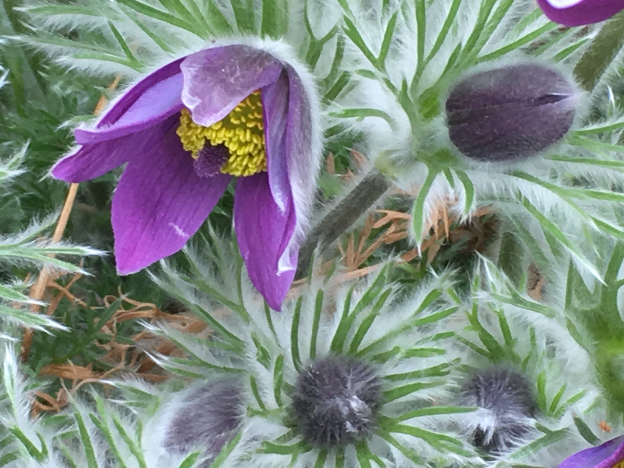 Pasque Flowers.jpg