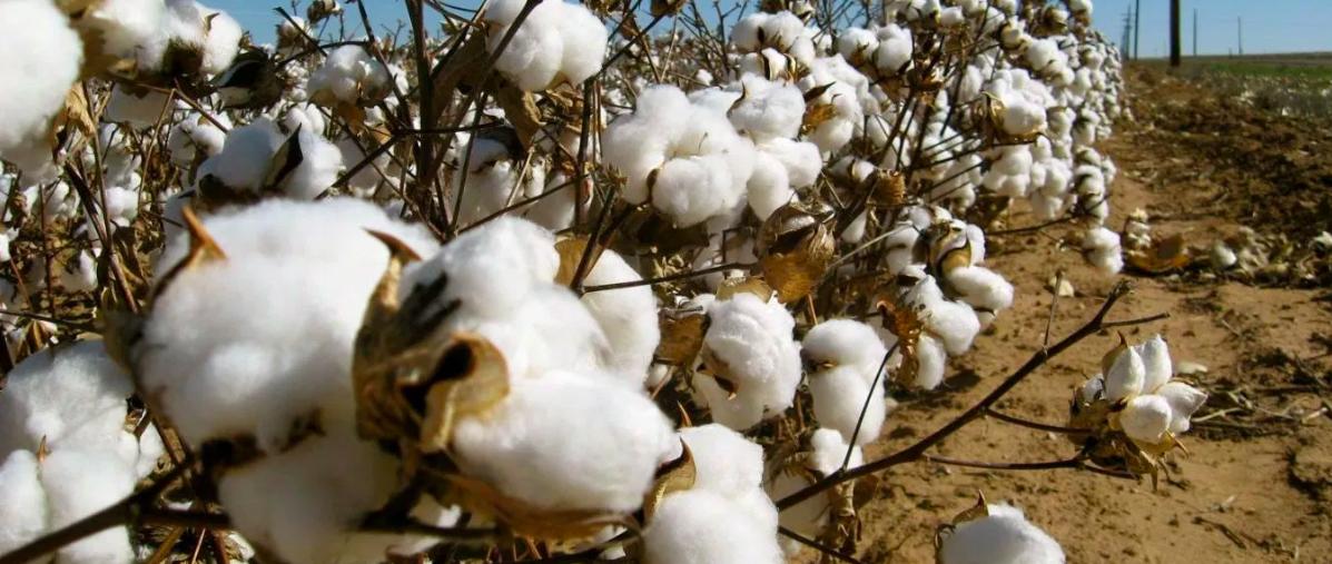 cotton kenya