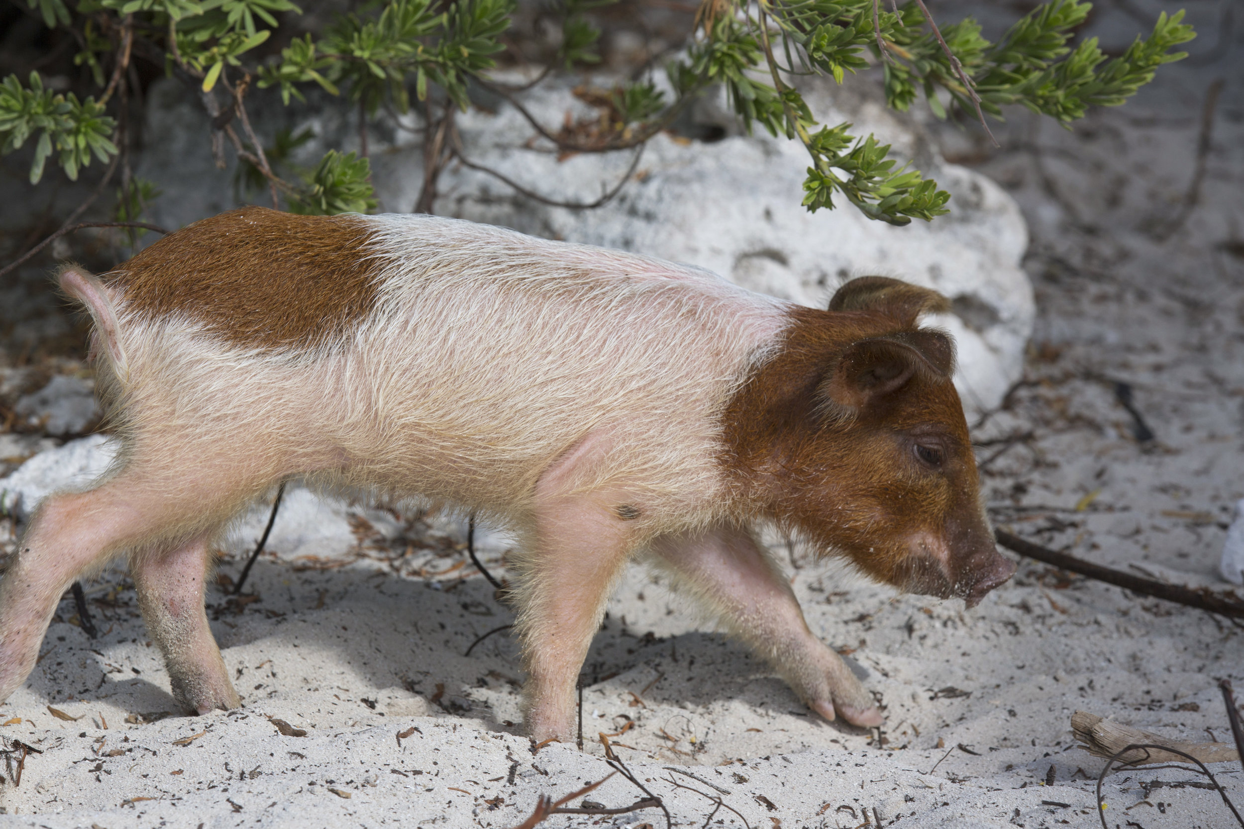 piglet-Exuma-Yacht-Sweet-Escape-swimming-pigs-exuma-yacht-sweet-escape-luxury-charter-exuma-sailor-superstitions