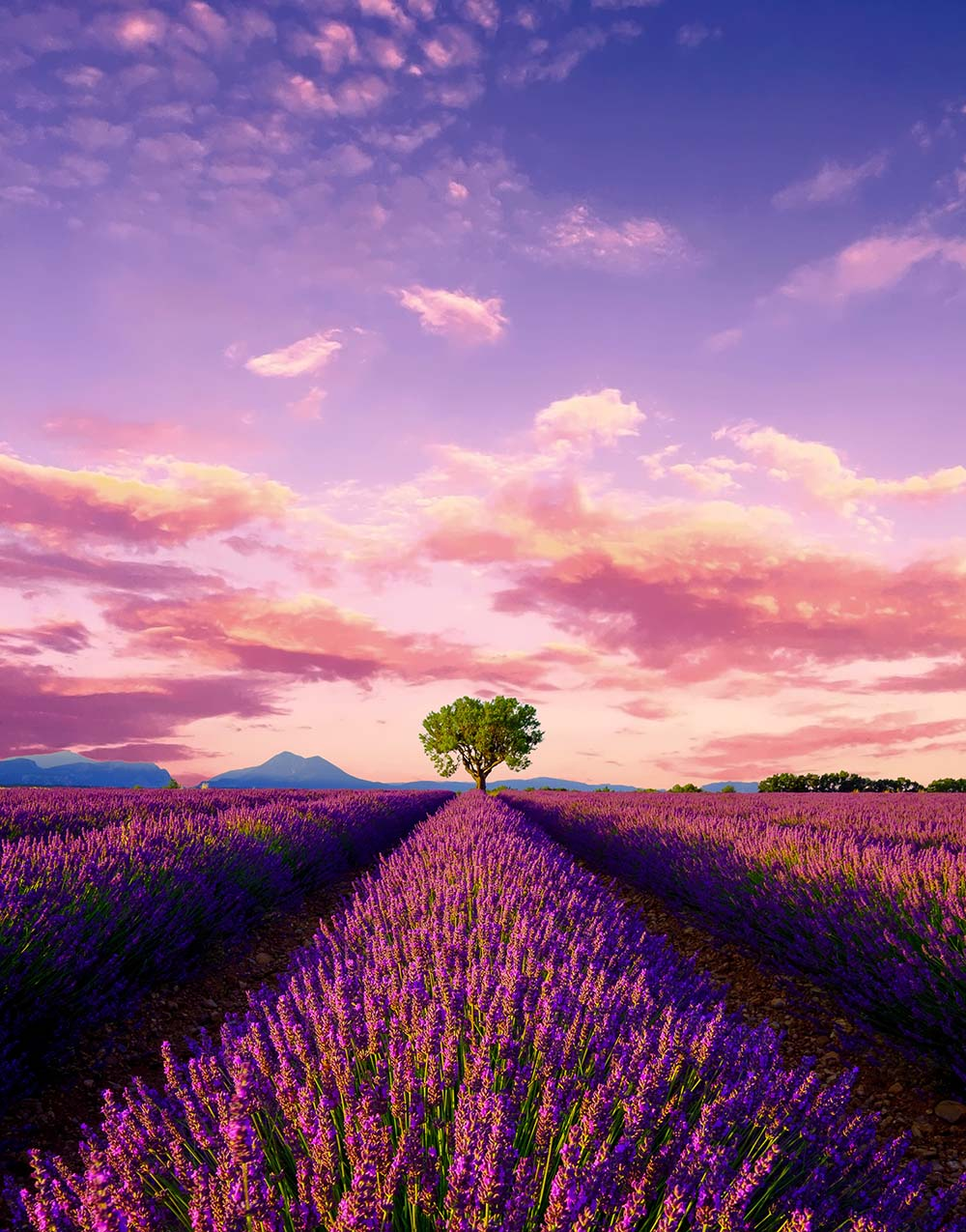 Provence-Lavende-sweet-escape