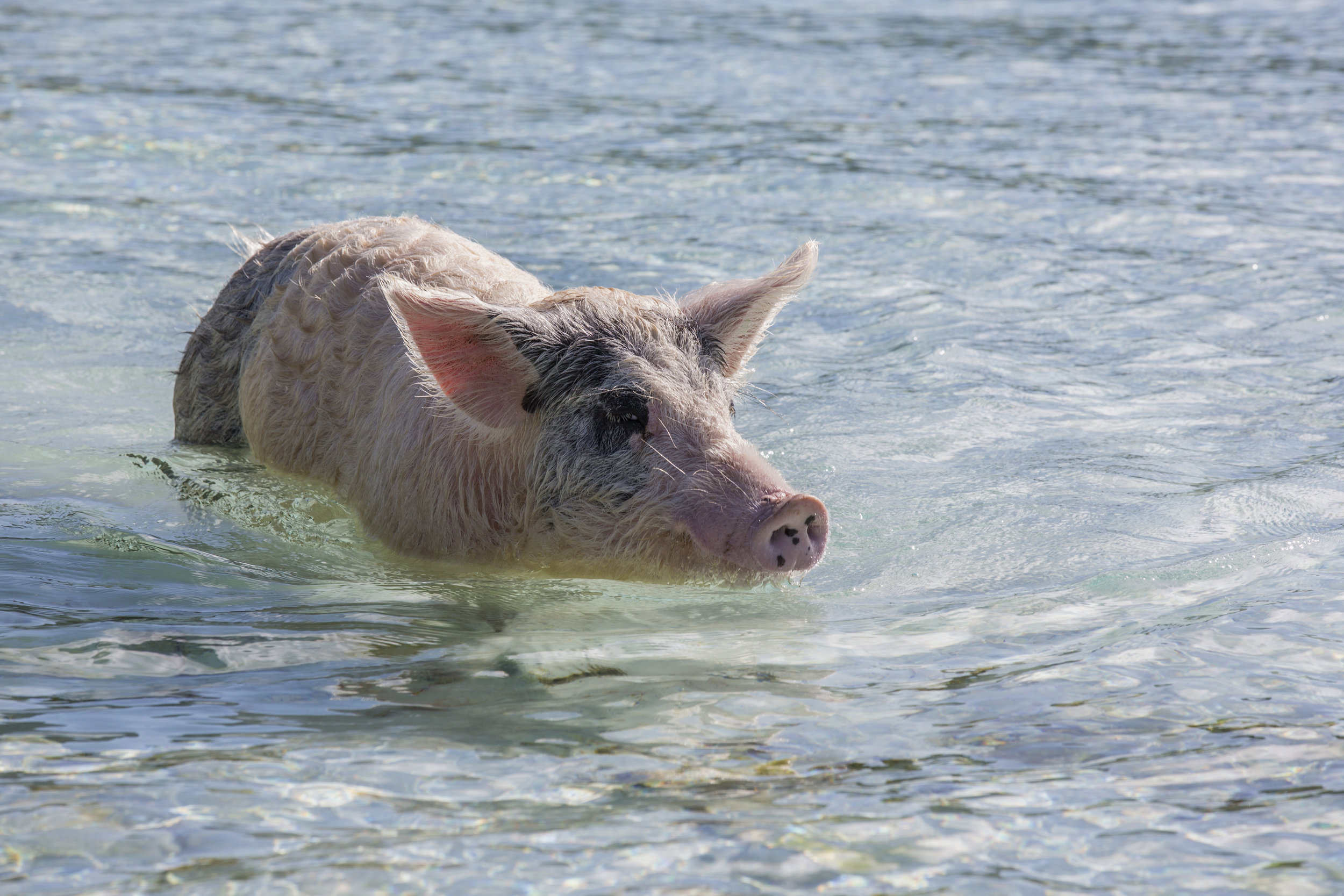 yacht-sweet-escape-charter-abaco-piggyville-Green-Turtle-Cay-Feed-Hope-Town-LightHouse-swimming-pigs