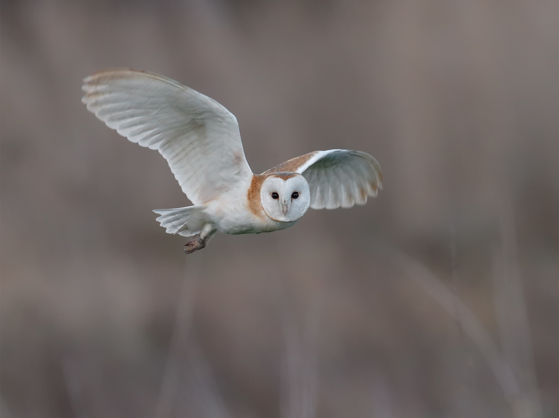 Barn Owl Stanwick Lakes print.jpg