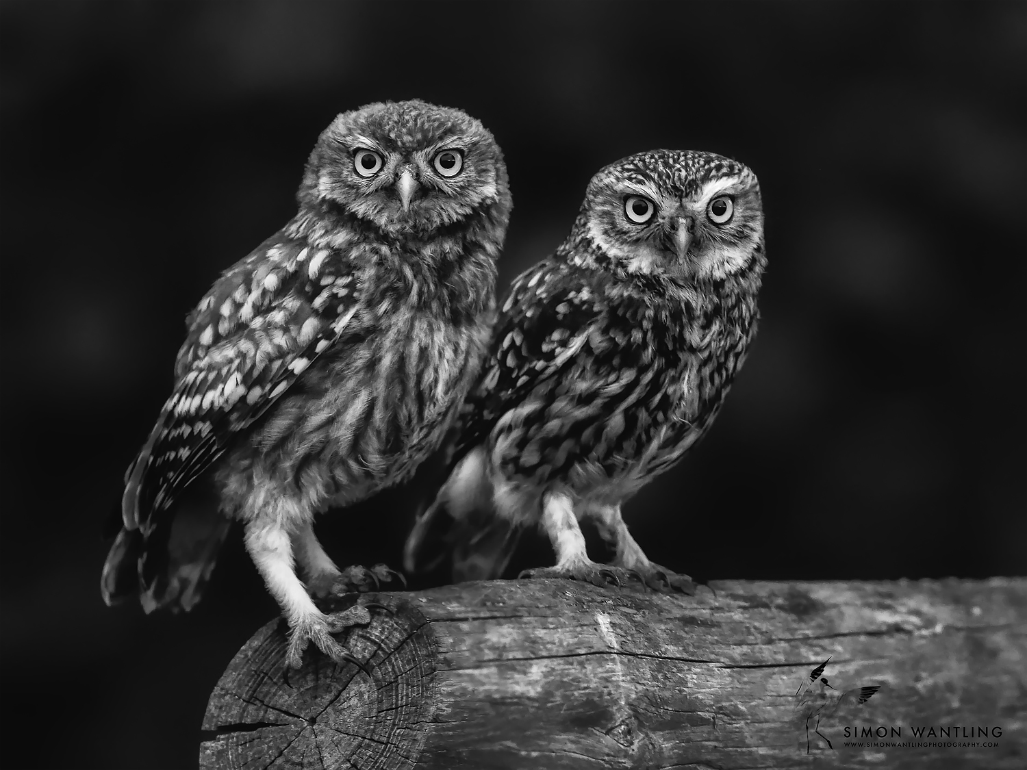 Black and White Little Owl Pair website.jpg