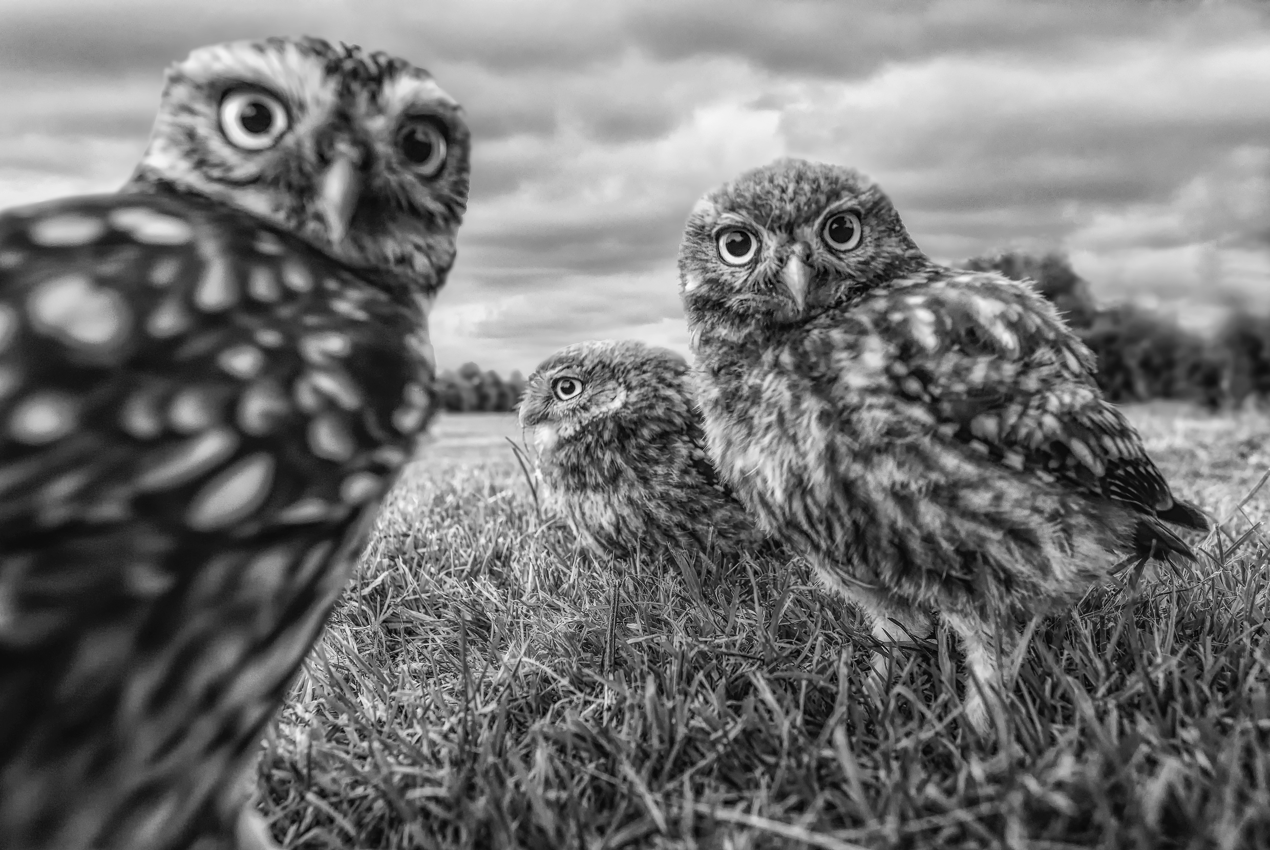 Simon Wantling - Little Owl family.jpg