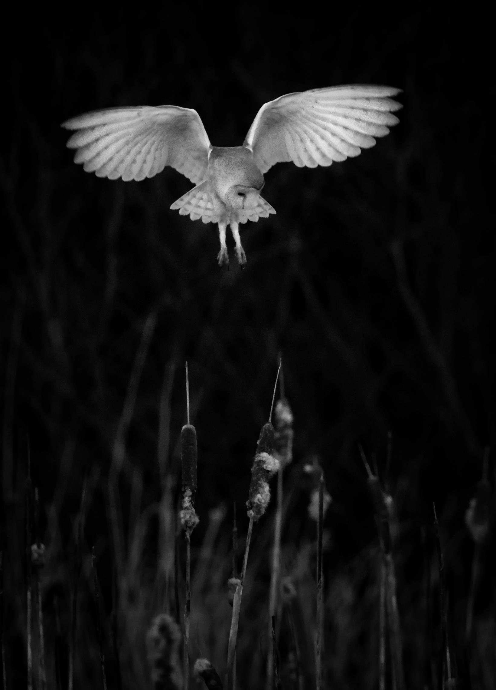 Hovering Barn Owl B&W.jpg