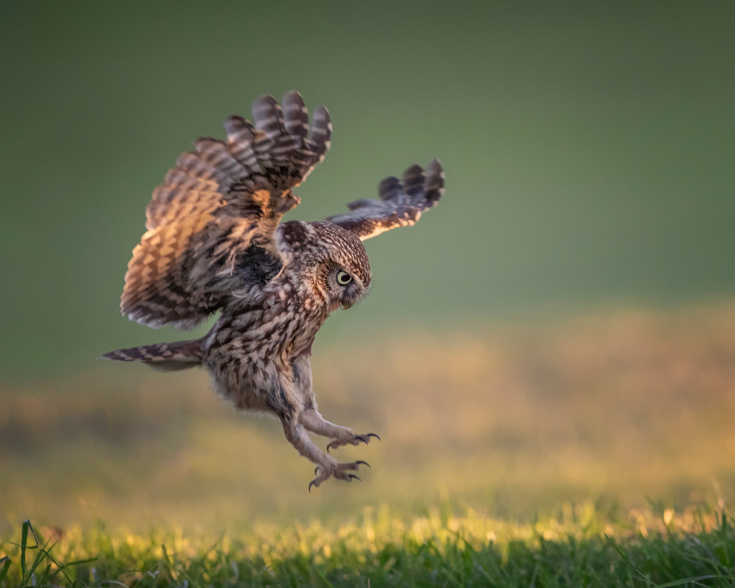 Little Owl Landing.jpg