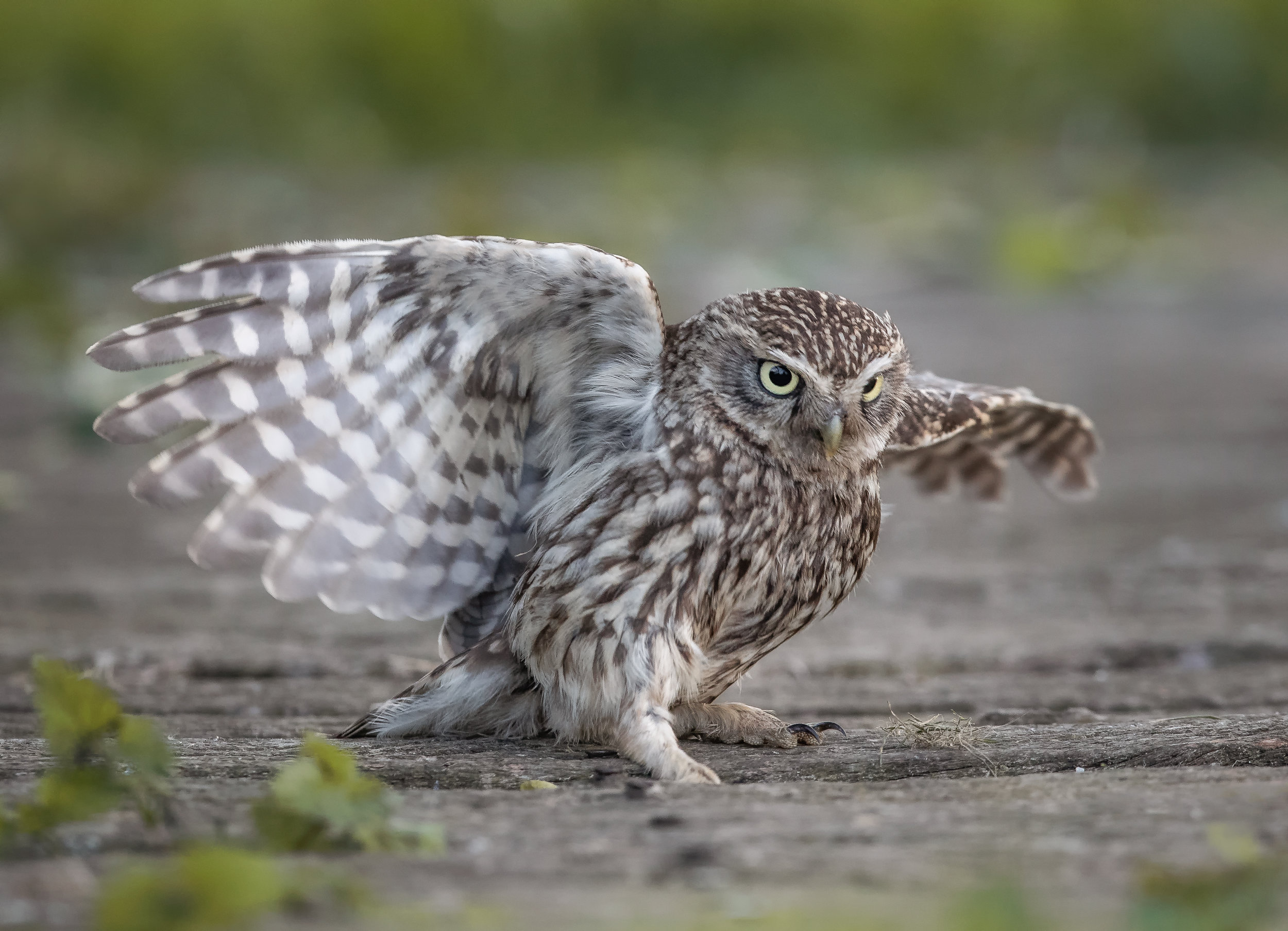 Little Owl Sliding tackle.jpg