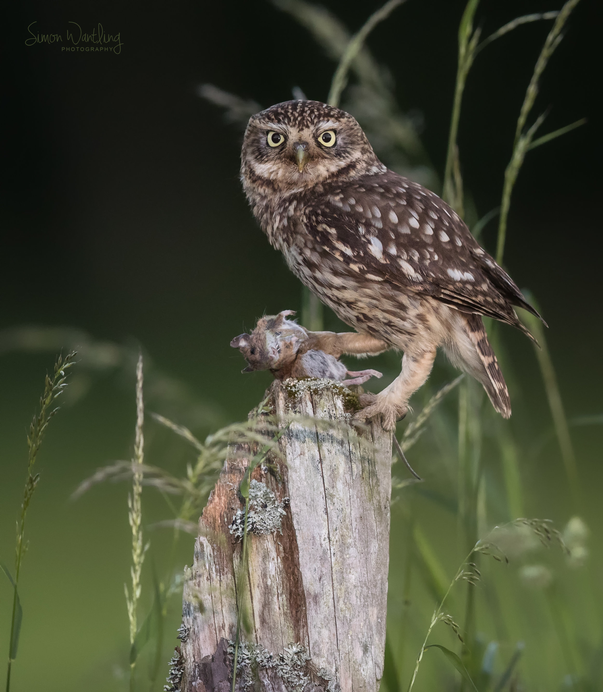 Little Owl with Mouse.jpg
