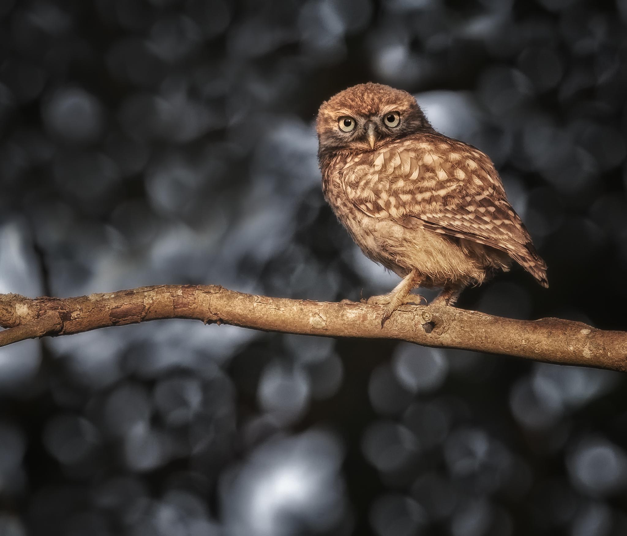 Owlet bokeh