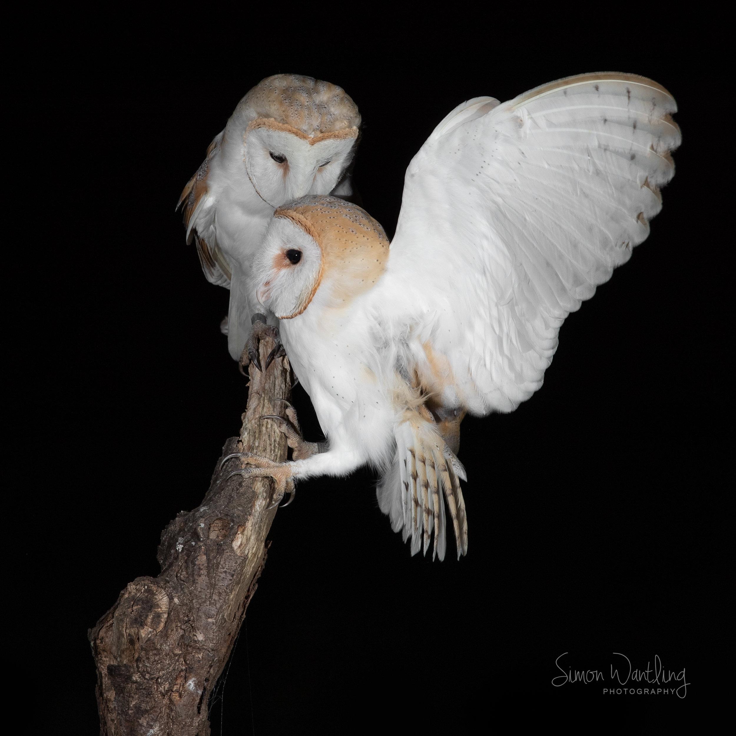 Barn Owl photo bomb