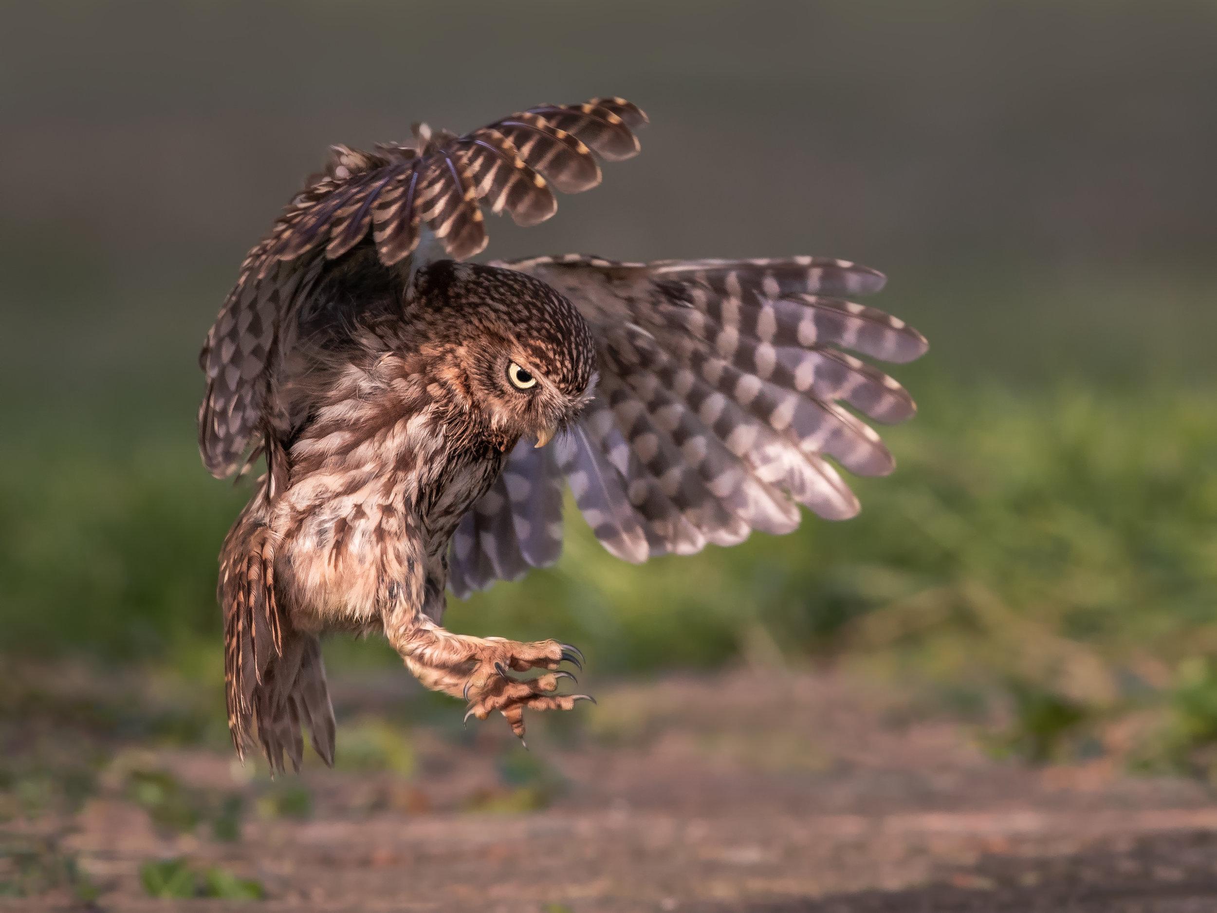 Little Owl talons out landing.jpg