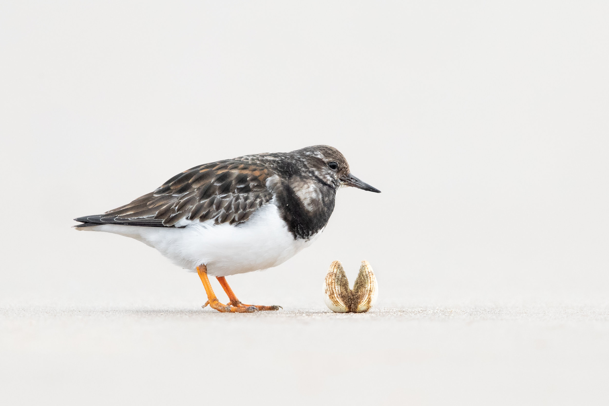 The Turnstone and the Cockle