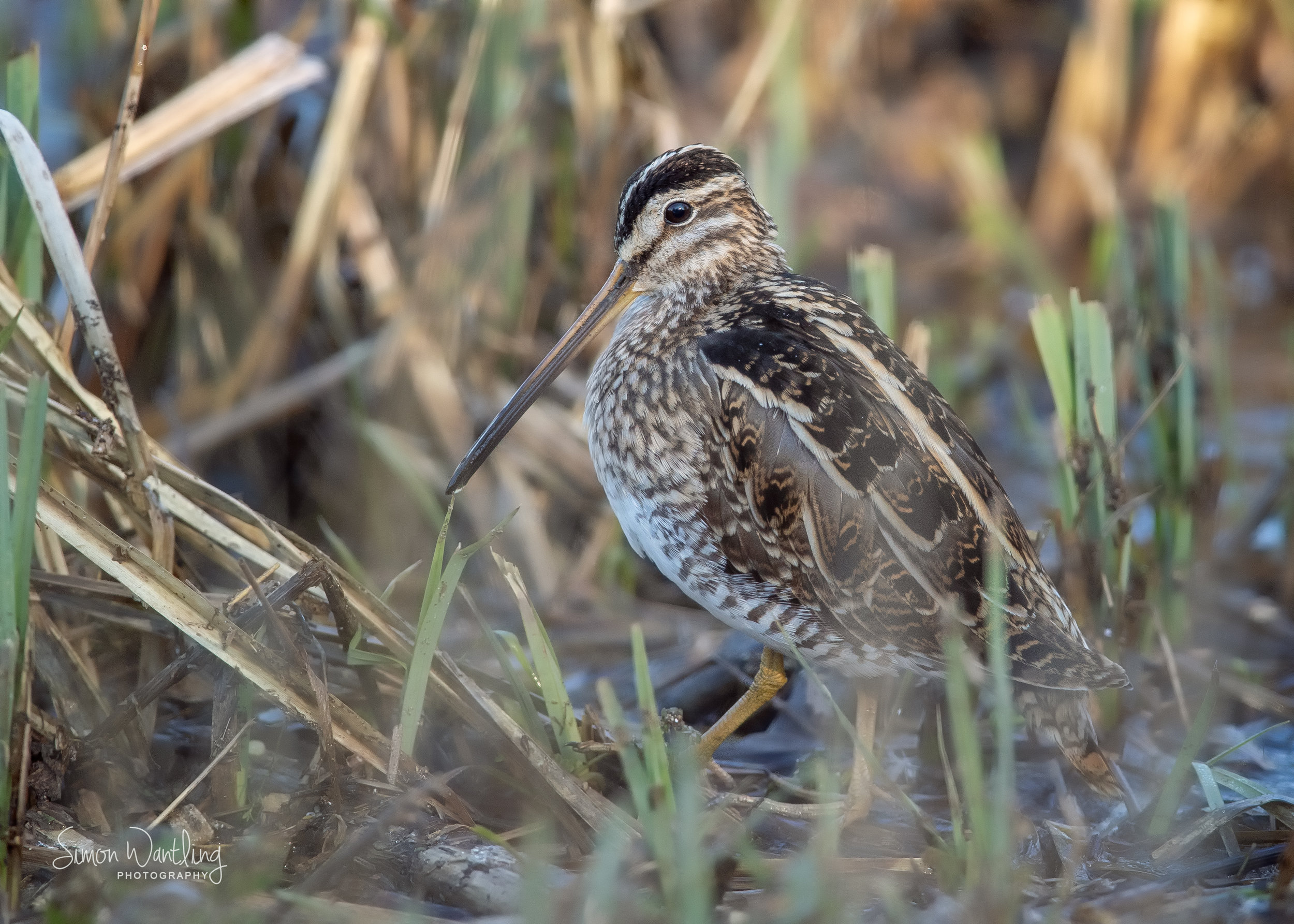 Snipe amongst the Reeds