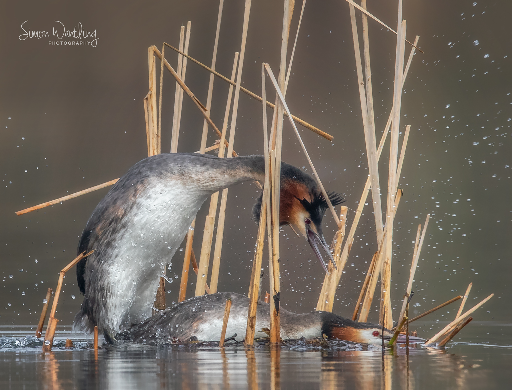 Mating Grebes