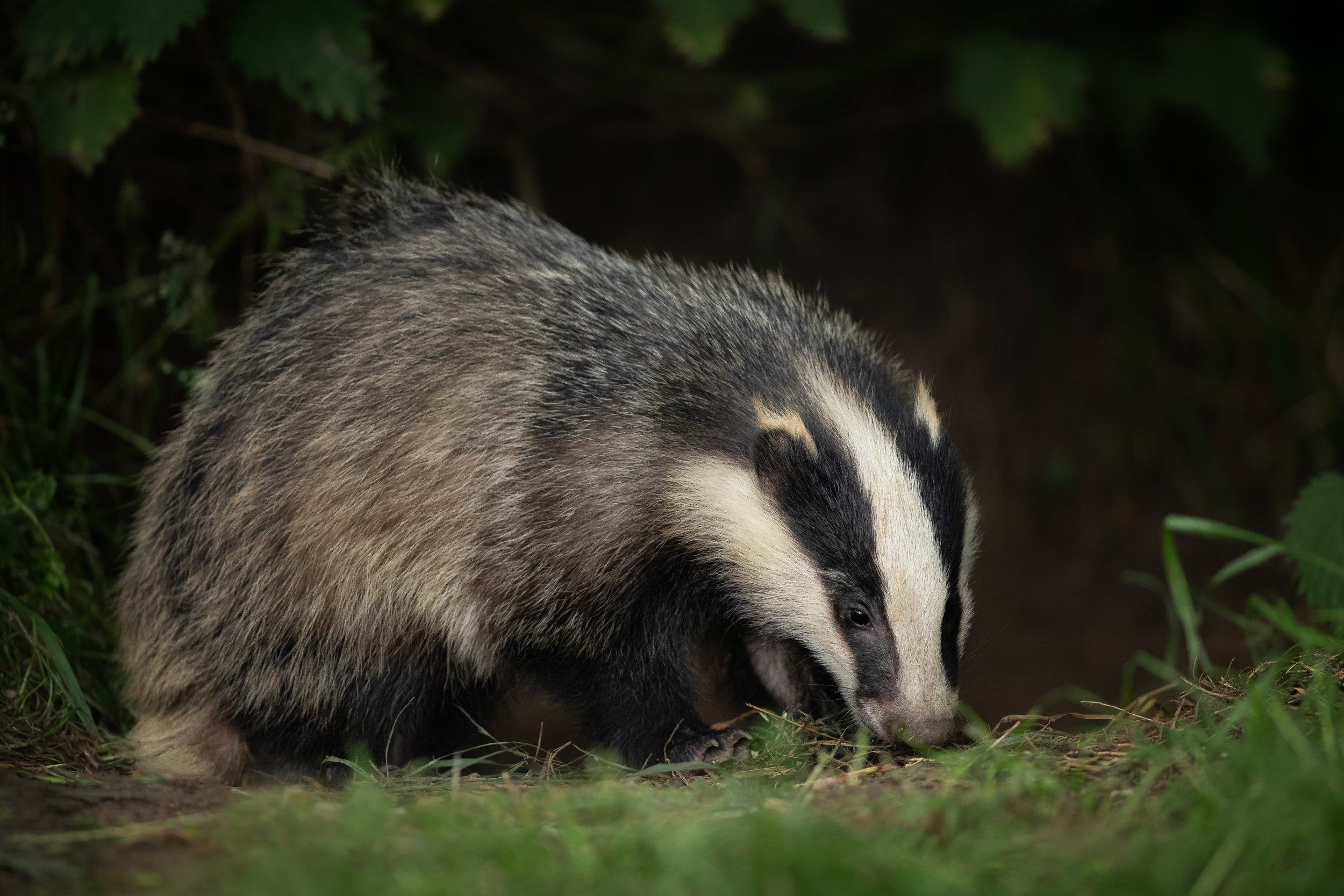 Badger Cub website.jpg